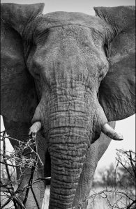 Charging Elephant, Etosha Pan, Namibia, archival ink jet print on Hannemuhle cotton rag, 72 x 113 cm, signed in margin