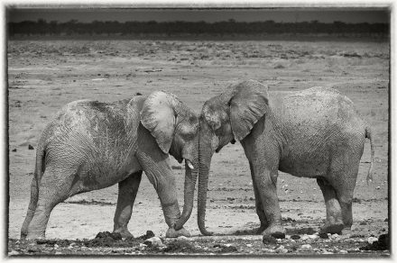 Elephant Calves, Etosha Pan, Namibia, archival ink jet print on Hannemuhle cotton rag, 72 x 113 cm, signed in margin.