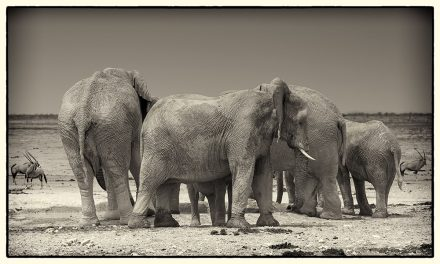 Elephats at Waterhole, Etosha Pan, Namibia, archival ink jet print on Hannemuhle cotton rag, 72 x 113 cm, signed in margin.