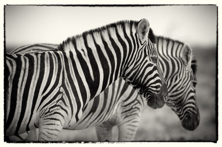 Zebras in Dawn Light, Namibia, archival ink jet print on Hannemuhle cotton rag, 72 x 113 cm, signed in margin.
