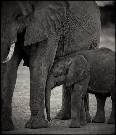 Elephant Mother & Calf, Chobe River, Botswana, archival ink jet print, 78 x 78cm, signed in margin.