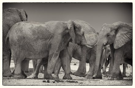 Elephants at Etosha Pan, archival ink jet print on Hannemuhle cotton rag, 72 x 113 cm, signed in margin.