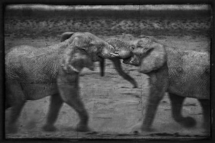 Young Elephant Bulls Fighting, Etosha Pan, Namibia, archival ink jet print on Hannemuhle cotton rag, 72 x 113 cm, signed in margin.