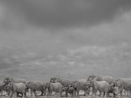 Elephant Family, Okaukuejo, Namibia, archival ink jet print, 60 x 78cm, signed in margin.