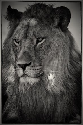 Lion at Letaba, South Africa, archival ink jet print on Hannemuhle cotton rag, 113 x 72 cm, signed in margin.