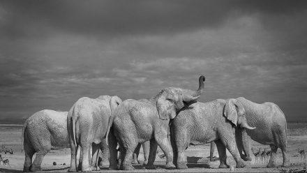 Elephants Etosha Pan, Namibia, archival ink jet print on Hannemuhle cotton rag, 72 x 113 cm,…