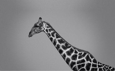 Giraffe, Etosha Pan, Namibia, archival ink jet print on Hannemuhle cotton rag, 72 x 113 cm, signed in margin.