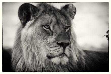 Lion at Etosha Pan, Namibia, archival ink jet print on Hannemuhle cotton rag, 72 x 113 cm, signed in margin.