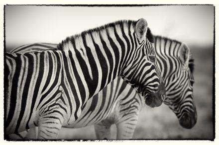 Zebras in Dawn Light, Namibia, archival ink jet print on Hannemuhle cotton rag, 72 x 113 cm, signed in margin.