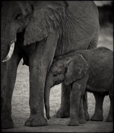 Elephant Mother & Calf, Chobe River, Botswana, archival ink jet print, 78 x 78cm, signed in margin.