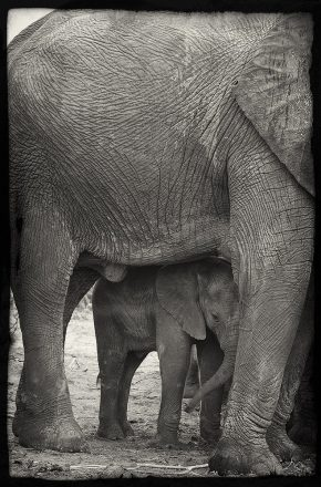 Elephant Cow and Calf, Chobe River, Botswana, archival ink jet print on Hannemuhle cotton rag, 72 x 113 cm, signed in margin.