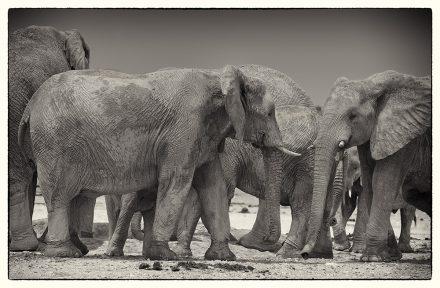 Elephants at Etosha Pan, archival ink jet print on Hannemuhle cotton rag, 72 x 113 cm, signed in margin.