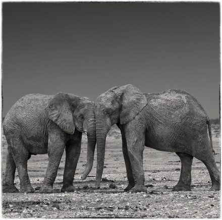 Elephant Calves, Etosha Pan, Namibia, Archival Ink Jet Print, 72 x 72cm, signed and numbered in the margin. Edition of 20.