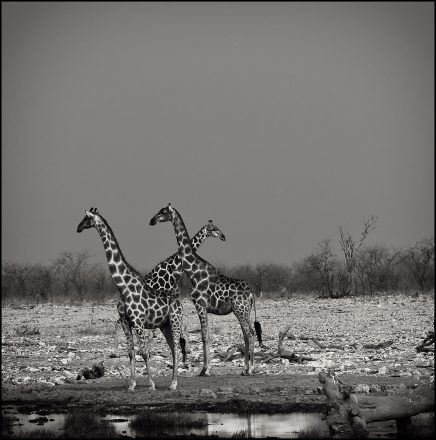 Giraffes at Waterhole, Etosha Pan, Namibia,  Archival Ink Jet Print, 72 x 72 cm, signed and numbered in the margin. Edition of 20.