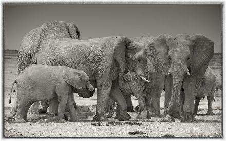 Elephants at Etosha Pan, Namibia, 2012, archival ink jet print on Hannemuhle cotton rag, 72 x 113 cm, signed in margin.