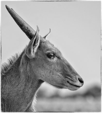 Young Steenbuck, Etosha Pan, Namibia, archival ink jet print, 78 x 78 cm, signed in margin.