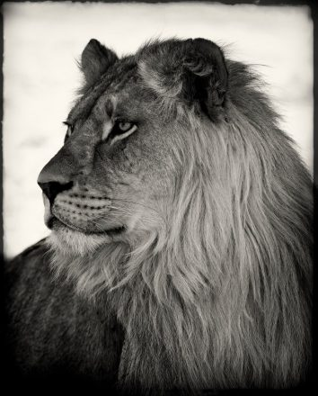 Young Lion, Etosha Pan, Namibia, archival ink jet print on Hannemuhle cotton rag, 72 x 113 cm, signed in margin.